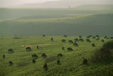 Bison Graze in the Flint Hills Photographic Print by Michael Forsberg