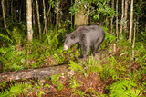 Black Bear Roams Through the Everglades Watershed, Smoak Ranch, Southern Highlands County, Florida Photographic Print by Carlton Ward