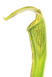 Pitcher Plant Close Up Photographic Print by Robert Llewellyn