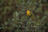 A Warbler Sings in a Tree Photographic Print by Michael Forsberg