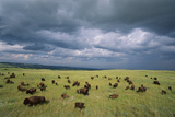 Bison Herd in the Niobrara Valley Preserve Photographic Print by Michael Forsberg