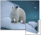 Portrait of a Polar Bear, Ursus Maritimus, on an Ice Floe at the Water's Edge Posters by Jay Dickman