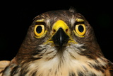 An African Goshawk Looking Directly at the Camera Photographic Print by Cagan Sekercioglu