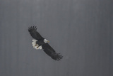 Portrait of a Bald Eagle, Haliaeetus Leucocephalus, in Flight Photographic Print by Bob Smith