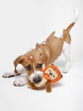 Portrait of a Cute and Adoptable Coon Hound Puppy Playing with a Toy and Ready for Adoption Photographic Print by Hannele Lahti