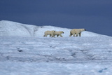 A Polar Bear, Ursus Maritimus, and Her Cubs Walk on the Top of an Ice Shelf Reproduction photographique par Jay Dickman