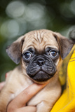 Extreme Close Up of a Pug Puppy Being Held by a Girl Against Her Chest Who's Wearing a T-Shirt Photographic Print by Hannele Lahti