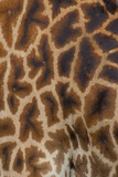 Tanzania, Africa: Patterns from the Hide of a Giraffe Photographic Print by Ben Horton