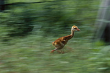 Captive-Raised Sandhill Chick Runs in Protected Yard, Audubon Nature Center, New Orleans Photographic Print by Michael Forsberg
