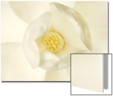 Magnolia Flower Close Up Posters by Robert Llewellyn