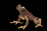 A Gunther's Banded Treefrog, Hypsiboas Fasciatus Photographic Print by Joel Sartore