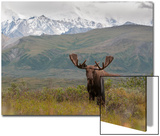 A Bull Moose, Alces Alces, in Denali National Park Posters by Barrett Hedges