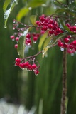 A Closeup of Raindrops on Berries Photographic Print by Macduff Everton