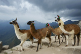 Llamas Stand on a Terrace High in the Andes Photographic Print by Jim Richardson