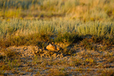 A Swift Fox Sleeps at its Den Site in the Sunlight Photographic Print by Michael Forsberg