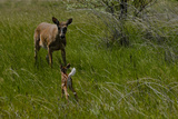 A White-Tail Deer Fawn Runs Towards its Mother Photographic Print by Michael Forsberg