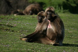 Gelada Baboons, Theropithecus Gelada, Resting Photographic Print by Cagan Sekercioglu
