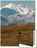 Mount McKinley Looms Above a Grizzly Bear, Ursus Arctos, in Backcountry of Denali National Park Poster by Barrett Hedges