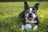 A Senior Boston Terrier Plays with a Ball in Her Backyard Photographic Print by Hannele Lahti
