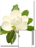 Magnolia Flower Poster by Robert Llewellyn