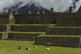 Llamas Graze and Rest on the Terraces of Machu Picchu Photographic Print by Jim Richardson