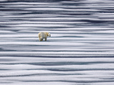 A Polar Bear, Ursus Maritimus, on Ice Floes in the Canadian Archipelago Photographic Print by Jay Dickman