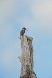 A Belted Kingfisher Perches on a Broken Cottonwood Tree Photographic Print by Tom Murphy