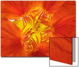 Nasturtium Flower, Tropaeolum Majus Print by Robert Llewellyn
