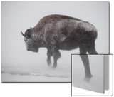 An American Bison Braves the Wind and the Snow Art by Tom Murphy