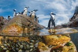 African Penguins Forage Near their Rookeries on Mercury Island Photographic Print by Thomas P. Peschak