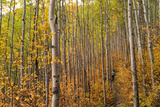 Edwards, Colorado: Hikers Follow a Trail Through the Changing Aspens Photographic Print by Ben Horton