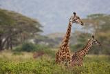 Ngorongoro Crater, Tanzania, Africa: Giraffe in Ngorongoro Crater Photographic Print by Ben Horton