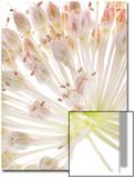 Wild Onion Flowers, Allium Species Posters by Robert Llewellyn