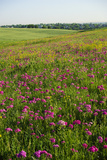 Bright Pink Wildflowers Bloom in Rural Grasslands Photographic Print by Michael Forsberg