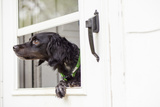 A Black French Brittany Spaniel, Wearing a Collar Leaning Out a Door at Her Home Photographic Print by Hannele Lahti