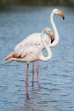Two Greater Flamingos, Phoenicopterus Roseus, Standing Side by Side in Water Photographic Print by Sergio Pitamitz