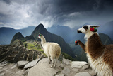 Llamas Overlook the Pre-Columbian Inca Ruins of Machu Picchu Fotografisk tryk af Jim Richardson