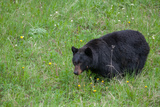 A Bear Feeds in a Grass Meadow on Dandelions and Forbs Photographic Print by Tom Murphy