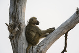 A Chacma Baboon, Papio Ursinus, Resting in a Dead Tree Photographic Print by Sergio Pitamitz