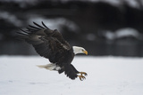 Portrait of a Bald Eagle, Haliaeetus Leucocephalus, Coming in for a Landing Photographic Print by Bob Smith
