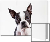 Portrait of a Boston Terrier Against a White Background Posters by Hannele Lahti