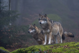 Two Gray Wolves, Canis Lupus, on a Mossy Boulder in a Foggy Forest Photographic Print by Sergio Pitamitz