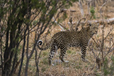 Portrait of a Leopard, Panthera Pardus, in the Brush Photographic Print by Sergio Pitamitz