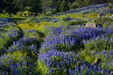 A Field Blooms in Bluebonnets Photographic Print by Will Van Overbeek