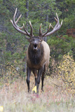 A Bull Elk, Cervus Canadensis, Bugles Angrily Fotografisk tryk af Barrett Hedges