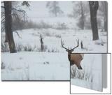 A Bull Elk Stands in a Snowy Landscape Prints by Tom Murphy