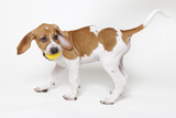Portrait of a Cute and Adoptable Coon Hound Puppy Playing with a Ball and Ready for Adoption Photographic Print by Hannele Lahti