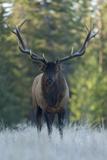 A Bull Elk, Cervus Canadensis, Stands in a Frost Covered Meadow Photographic Print by Barrett Hedges