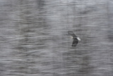 A Blurred Motion Shot of a Bald Eagle, Haliaeetus Leucocephalus, in Flight Photographic Print by Bob Smith