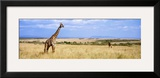 Giraffe, Maasai Mara, Kenya Framed Photographic Print by  Panoramic Images